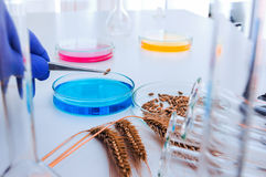 Cell culture assay to test genetically modified. Laboratory assistant in the laboratory of of food quality.Cell culture assay to test genetically modified seed stock photos