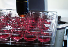Cell culture. In the laboratory microscope Royalty Free Stock Photos