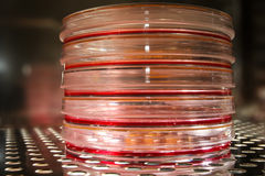 Cell culture plates in an incubator. A small stack of cell culture plates in an incubator. The plates are filled with cell culture medium in which cancer cell royalty free stock photo