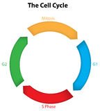 The Cell Cycle Stock Photos