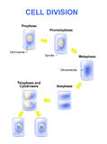 Cell division. Mitosis Stock Image
