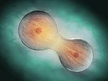Cell division through mitosis Royalty Free Stock Photography