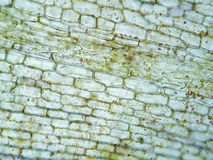 Cell för vatten- växt Royaltyfri Bild