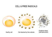 Cell and free radicals. Healthy cell attacked by free radicals and oxidative stress with cell destruction. vector diagram stock illustration