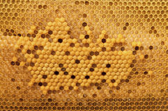 Cell larvae of bees of all ages. Beekeeping. Stock Image
