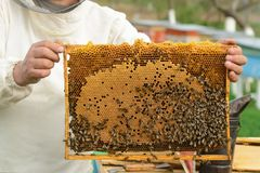 Cell with larvae of bees and young bees. Cell with larvae of bees and young bees Stock Images