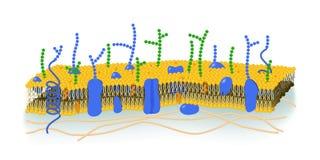 Cell Membrane illustration. Cell membrane (or plasma membrane) detailed illustration Stock Photography