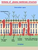 Cell membrane.  plasma membrane structure scheme education info graphic. Illustraion Royalty Free Stock Photography