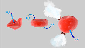 Cell osmosis, cell in isotonic solution, cell in hypertonic solution, cell in hypotonic solution Stock Photography
