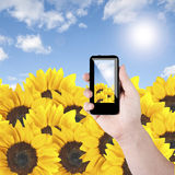 Cell phone and sunflower Royalty Free Stock Image