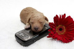 Cell Pup. A little puppy sleeping close to a cell phone Stock Photos