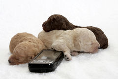 Cell Pups. Three little puppy sleeping close to a cell phone Stock Photo
