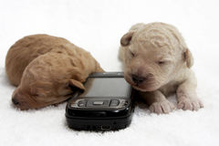 Cell Pups. Two little puppy sleeping close to a cell phone Royalty Free Stock Images