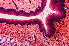 Cross section esophagus dog. Cell- science background. Esophagus of the dog- cross section Stock Photo