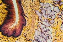 Cross section esophagus dog. Cell- science background. Esophagus of the dog- cross section Royalty Free Stock Photos
