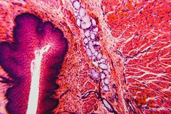 Cross section esophagus dog. Cell- science background. Esophagus of the dog- cross section Royalty Free Stock Images