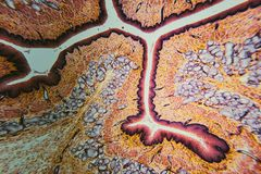 Cross section esophagus dog. Cell- science background. Esophagus of the dog- cross section Stock Images