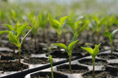 Cell seedlings production close-up Stock Photography