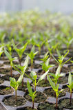 Cell seedlings production close-up Stock Image