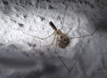 Cell spider with babies Stock Image