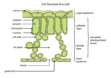 Cell structure of a leaf Stock Images