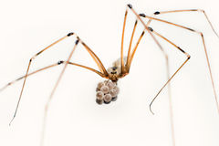 Cellar spider Royalty Free Stock Images
