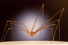Cellar Spider. Found in human dwellings also called Daddy long-legs spider, Grand daddy long-legs spider, vibrating spider. Pholcidae suborder araneomorphae Stock Photography