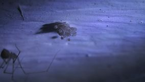 Cellar spider mother making a silk web for its eggs stock footage