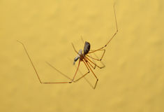 Cellar spider with prey Royalty Free Stock Photo