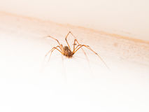 Cellar spiders Royalty Free Stock Image