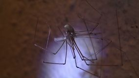 Cellar spiders mating stock video