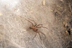 Cellar spyder. Home spiders are for luck and money Royalty Free Stock Photo