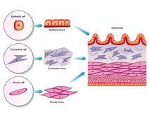 Celle intestinali della parete illustrazione vettoriale