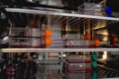 Cellkulturflaska i kuvöskabinettet Cellkultur ser till borttagningen av celler från ett djur eller en växt royaltyfri fotografi