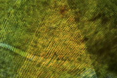 Cells of a moss leaf in a polarization micrograph. Stock Photo