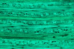Wheat leaf epidermis under the microscope. Cells of a wheat leaf epidermis under the microscope stock photography