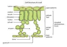 Cellstruktur av ett blad Arkivbilder