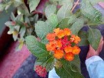 cellulare piacevole rosso di cameta della mano del fiore Fotografia Stock Libera da Diritti