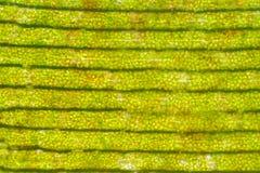 Cellule d'usine sous la vue de microscope Image stock