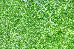 Cellule della foglia sotto il microscopio Fotografia Stock Libera da Diritti