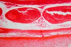 Cellule della trachea sotto il microscopio Fotografie Stock