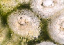 Cellules épithéliales de bergamote tirant avec le microscope Images libres de droits