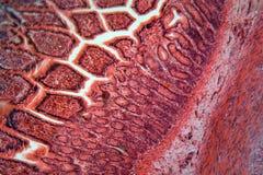 Cellules d'intestin sous le microscope images libres de droits