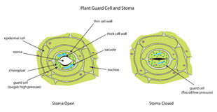 Cellules de garde d'usine avec le stoma entièrement marqué Image stock