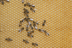 Cellules de miel Photographie stock
