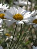 Celmisia Spectabilis stock afbeelding