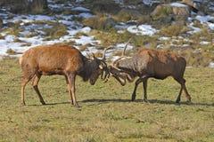 Celo de los ciervos comunes Imagen de archivo
