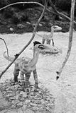 Celophysis (Ceratosauria). Modelo del dinosaurio. imagenes de archivo