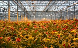 Celosia. Grown under assimilation lighting, therefor the yellow color in the image. Supplemental lighting is used to maintain optimum growth and get uniform Royalty Free Stock Photos