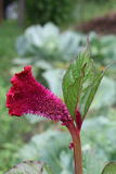 Celosia Royalty Free Stock Photo